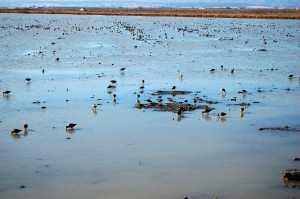 Shorebirds forage in a flooded rice field during winter. Photo: Blake Barbaree