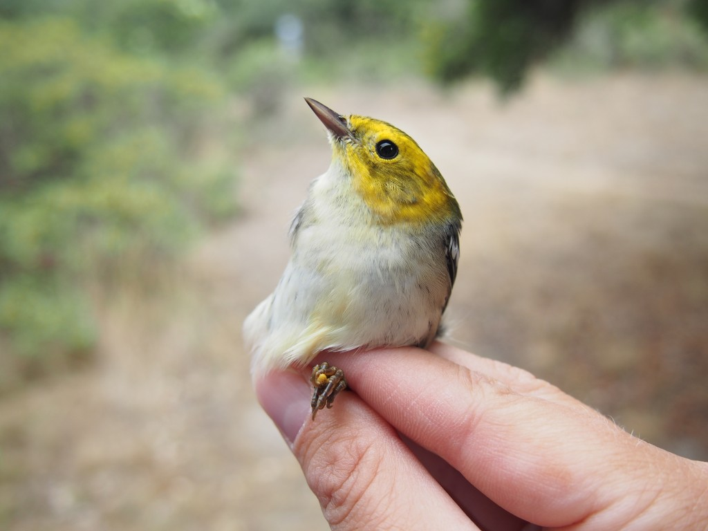A hatch-year male Hermit Warbler. Photo by Hannah Conley.