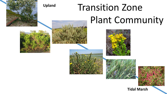 The tranzition zone plant community can tolerate a gradient of water inundation and salinity, from pickleweed to elderberry.