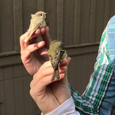 """""""Ghost Ricky"""" and a typical male counterpart Ruby-crowned Kinglets; Unkwown age, Unknown sex (left); Unknown age, Male (right). Photos by Nick Liadis."""