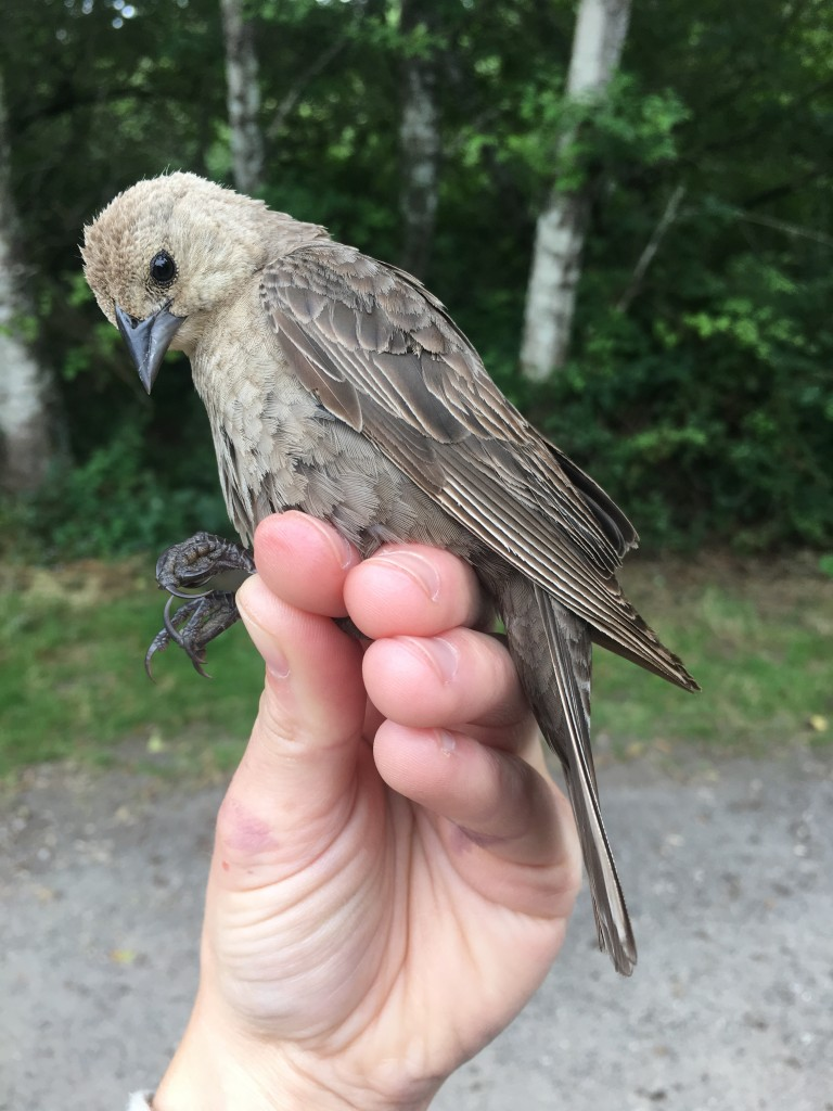 After hatch-year female Brown-headed Cowbird at Muddy Hollow. Photo by Ian Souza-Cole.