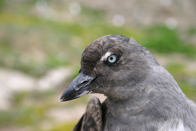 Cassin's Auklet. Photo credit: Brett Hartl/ Point Blue